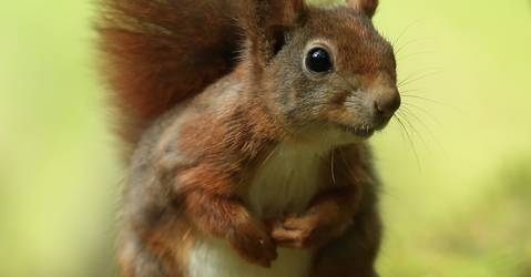 Red Squirrels Trust
